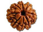 Picture of Eight Faced Rudraksha ( 8 Mukhi ) of Premium Quality