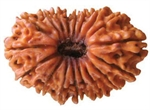 Picture of Eighteen Faced Rudraksha ( 18 Mukhi ) of Premium Quality  