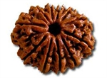 Picture of Eleven Faced Rudraksha ( 11 Mukhi ) of Premium Quality