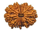 Picture of Fifteen Faced Rudraksha ( 15 Mukhi) of Premium Quality  