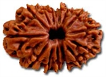 Picture of Fourteen Faced Rudraksha ( 14 Mukhi ) of Premium Quality