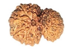 Picture of Garbh Gauri Rudraksha