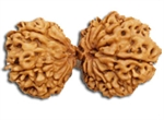 Picture of Gauri Shankar Rudraksha of Premium Quality 