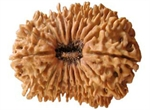 Picture of Nineteen Faced Rudraksha ( 19 Mukhi ) of Premium Quality