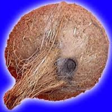 Picture of Ekakshi (One Eyed) Coconut For Wealth and Prosperity